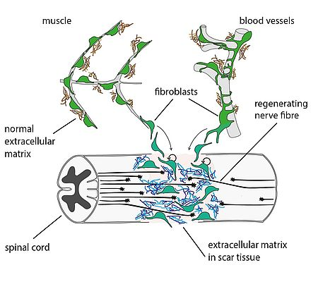 How zebrafish mend the spinal cords